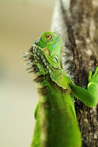 Wide Open Thread-iguana1351.jpg