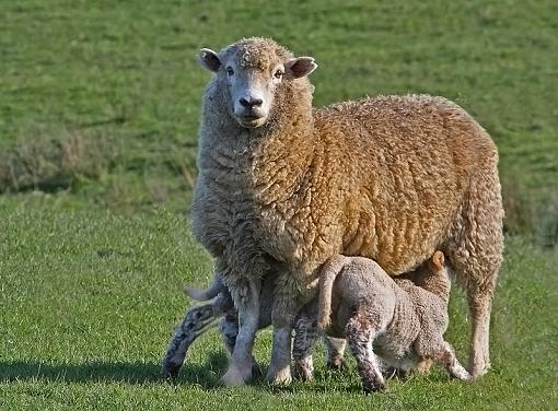 Ewes Two-ewes2.jpg