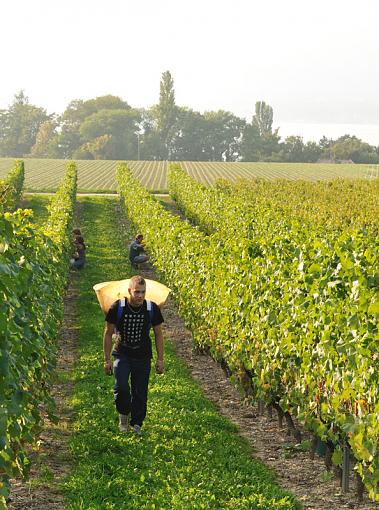 Education - Grape Picking-1-collect.jpg