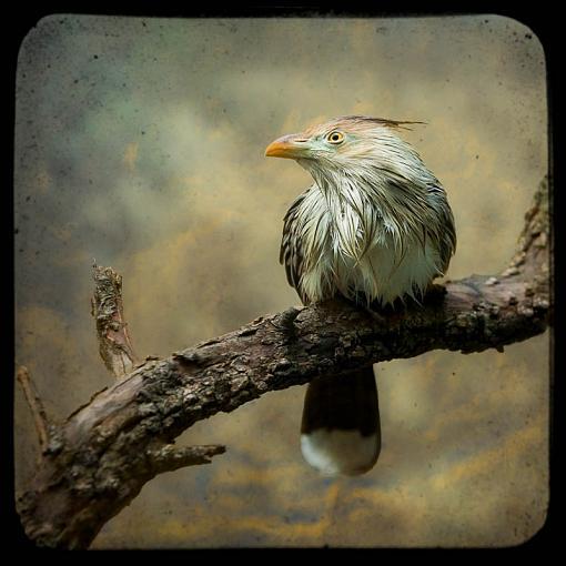 Your Favorite Image of 2009-guira-cuckoo.jpg