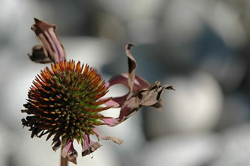 Last of the Season???-dying-coneflower-web.jpg
